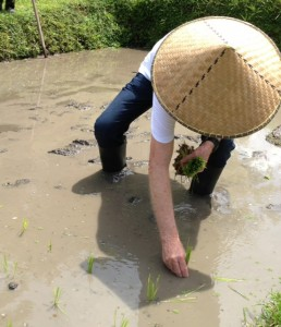 Planting rows of two-week old rice seedlings.