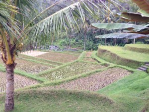 Another rice terrace in Sayan village.