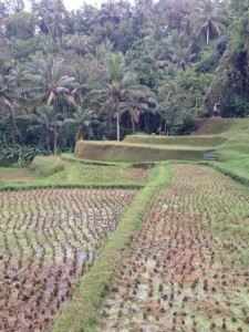 Rice terrace in Sayan Village.